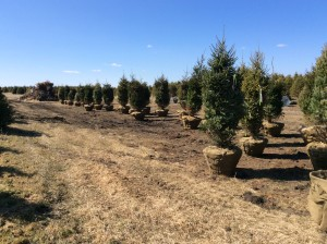 Wide angle of a pine tree nursery